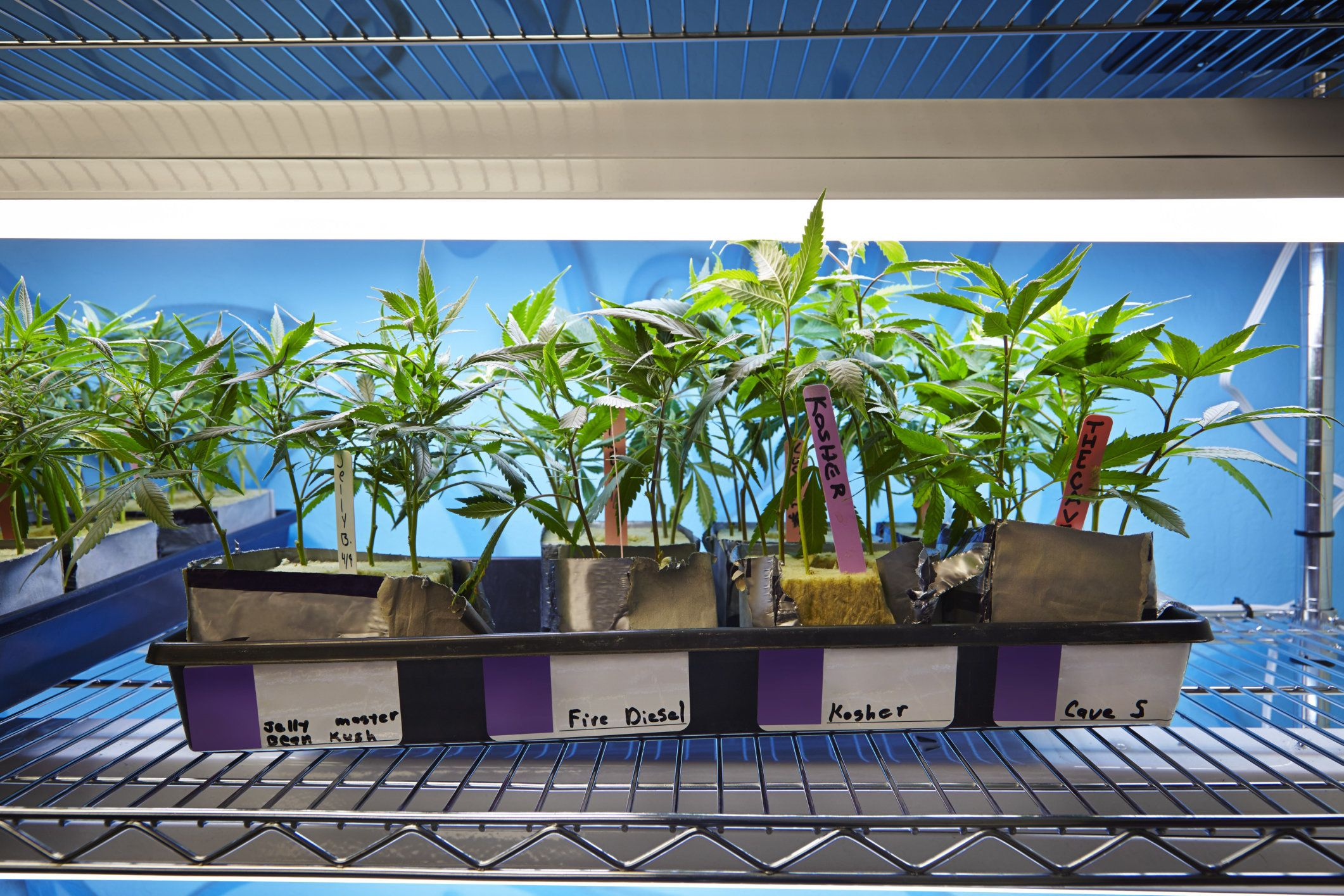 A tray of several varieties of medical marijuana plants for sale to patients in California.