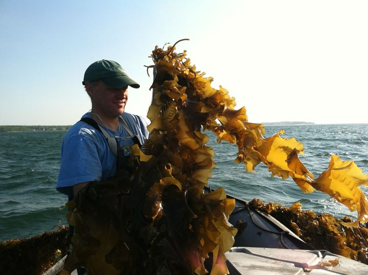 Paul Dobbins harvesting kelp from the Ocean Approved farm on Casco Bay. The kelp grows about 30 feet deep on a line suspended seven feet below the ocean's surface.
