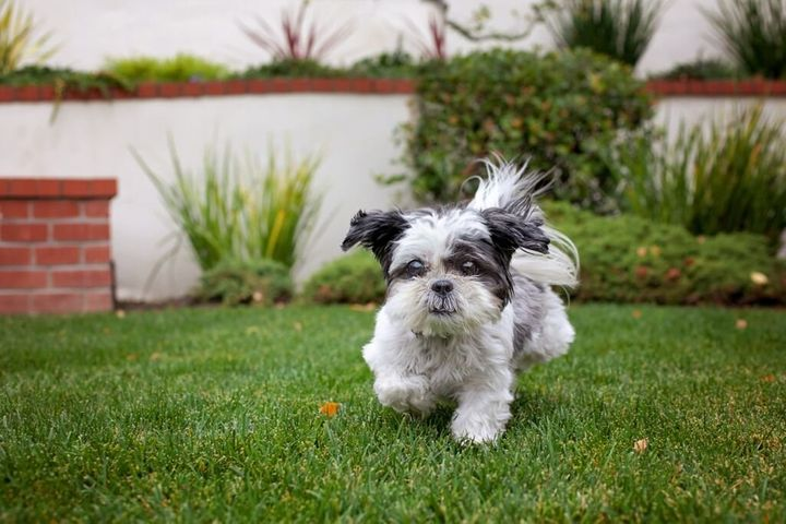 Maddie, atiny shih tzu rescued as a senior, helped a 75-year-old widow overcome depression and anxiety. Their story of