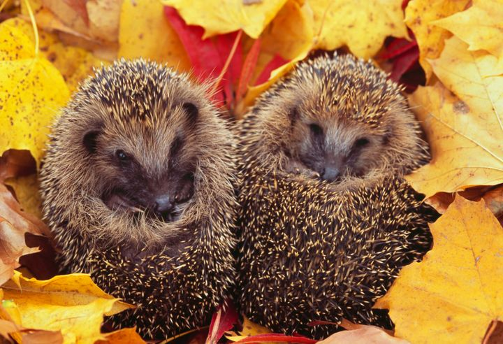 A British lawmaker's call to make hedgehogs the national symbol proved to be a thorny issue.