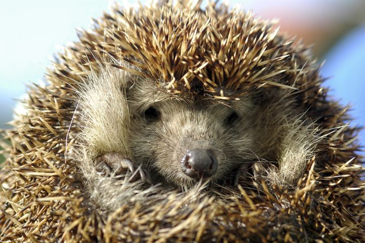Hedgehog numbers in the U.K. have declined by one-third over the past decade.