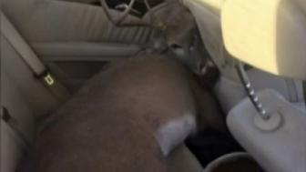 A Dallas-area driver found himself with an unexpected passenger when a deer smashed through his windshield and ended up in the backseat of his car.