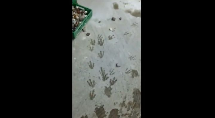 A trail of tiny webbed footprints easily pointed a worker in the flightless birds' direction.