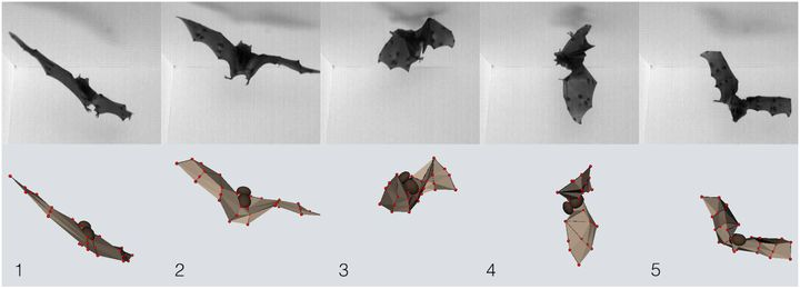Selected images from high-speed recordings of C. perspicillata executing a landing maneuver and, upon failing to find a landi