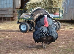 At This Thanksgiving Celebration, It's The Turkeys Who Do The Eating