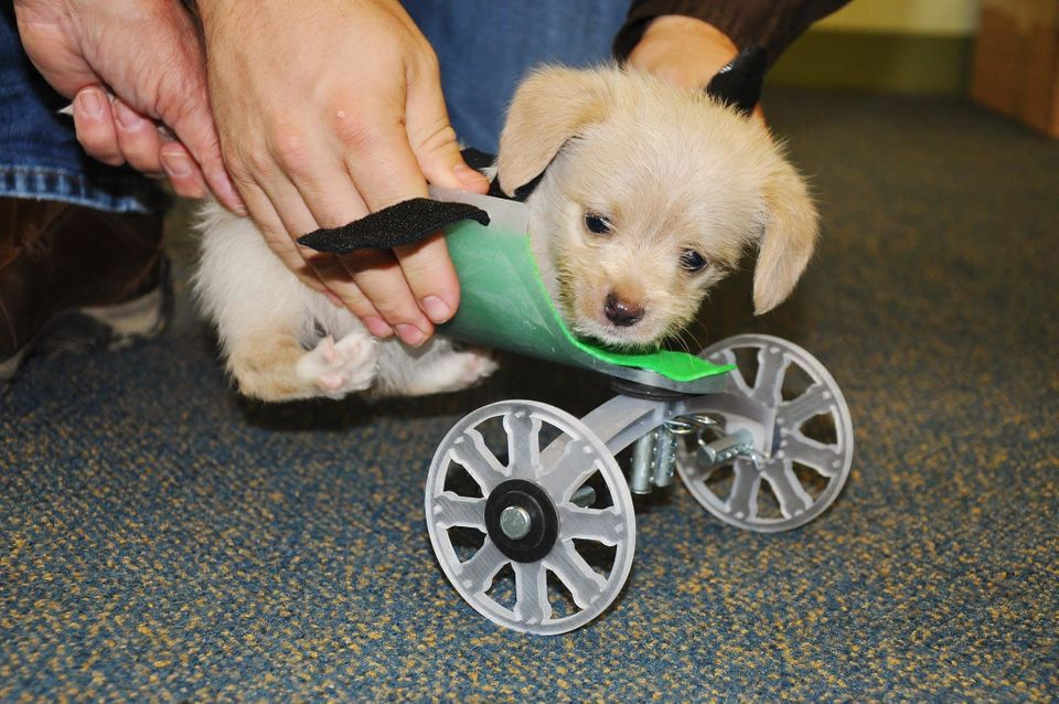 A tiny shelter puppy who was born with only two legs is seen being outfitted with a custom, 3-D-printed wheelchair.