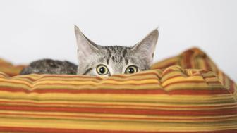 Surprised Kitten Hiding in Striped Orange Bed
