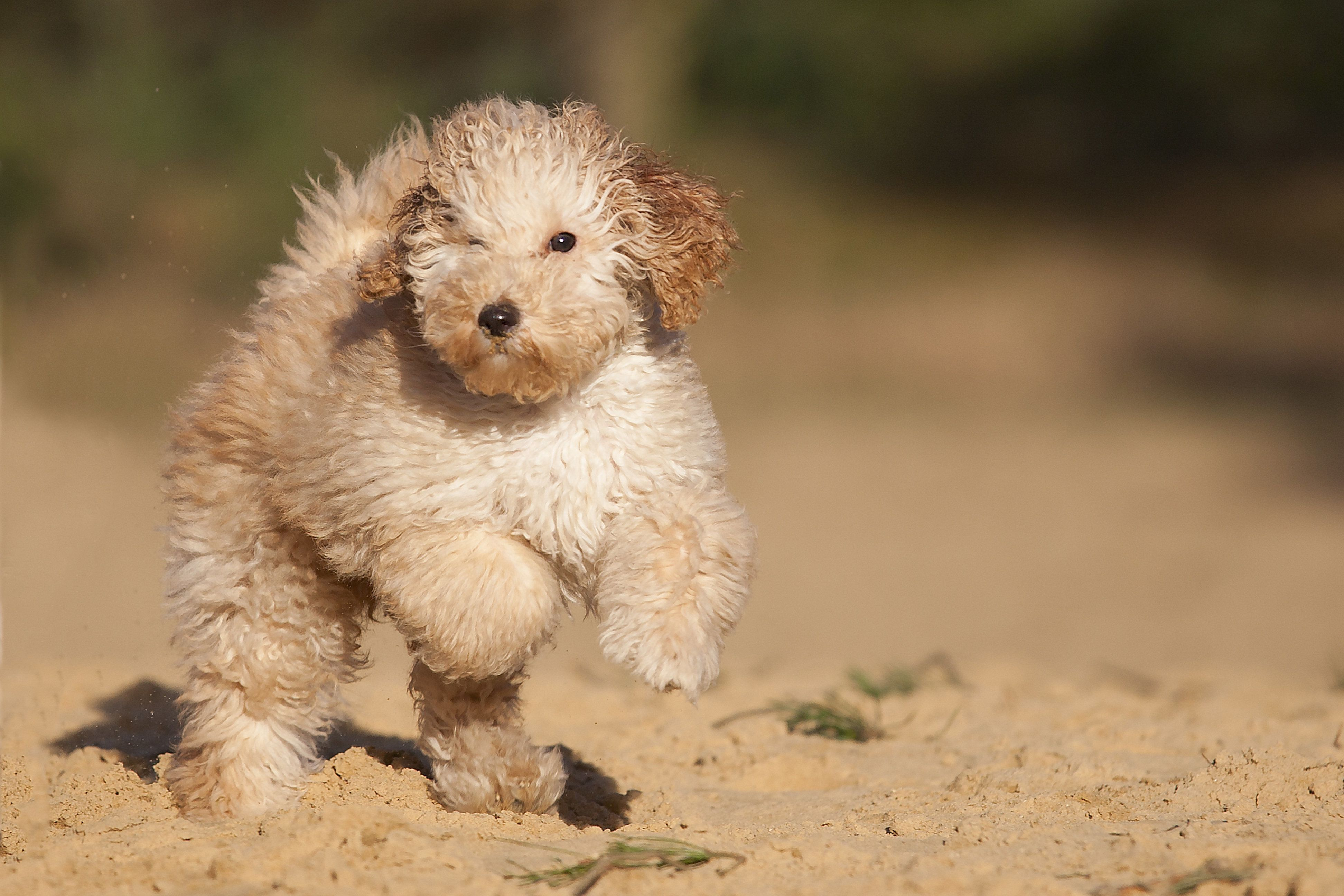 A Labradoodle puppy of 9 weeks on 2 legs standing!A mix of Labrador/Poodle.