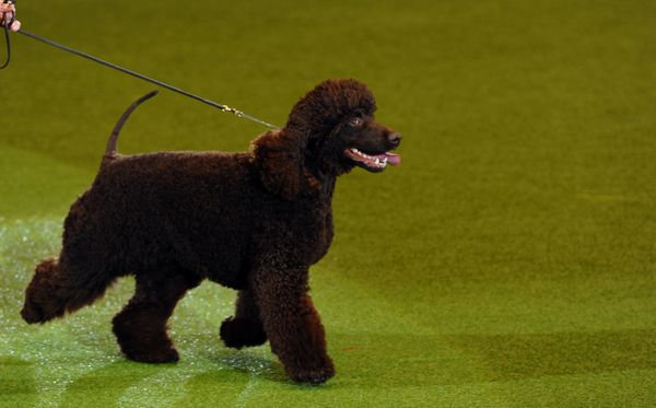 Merlin, an Irish Water Spaniel is paraded during the Best in Show category of the Crufts Dog Show at The National Exhibition