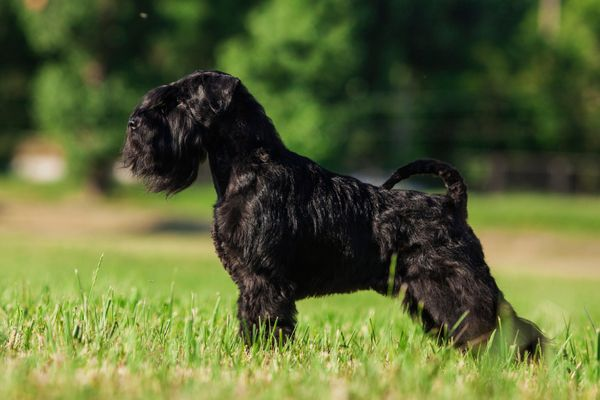 One male dog of Zwergschnauzer breed with black hair and uncut ears and tail standing outside in a park on a green grass on s