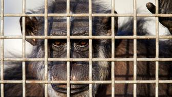 KEITHVILLE, LA - SEPTEMBER 30: A retired lab chimp looks out of one of the windows in his group enclosure at Chimp Haven which is also The National Chimpanzee Sanctuary, on September 30, 2014 in Keithville, Louisiana. Retired lab chimps can live out their lives at this nonprofit, independent sanctuary that provides humane care for chimpanzees that have been used in biomedical research. The CHIMP act provides for 75% of the cost of their care from the US government, the other 25%, and the cost of construction, must be fund raised. (Photo by Melanie Stetson Freeman/The Christian Science Monitor via Getty Images)