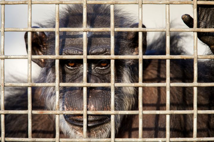 A retired lab chimp looks out of his group enclosure at Chimp Haven in Keithville, Louisiana, on September 30, 2014. The
