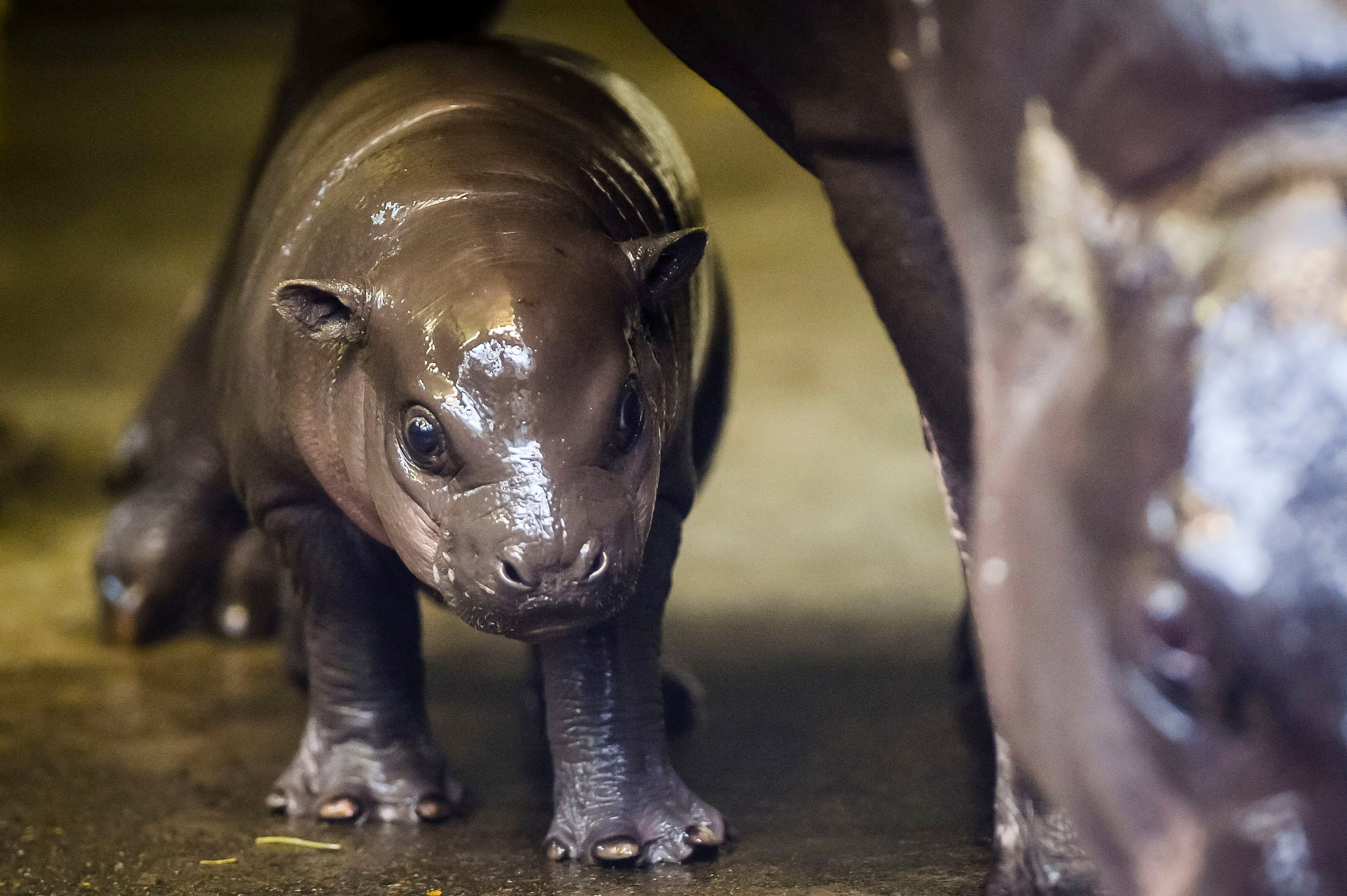 EMBARGOED TO 0001 FRIDAY NOVEMBER 20 An as of yet unnamed three-week-old baby pygmy hippopotamus calf stays close to its mother, Sirana's, legs as it explores Bristol Zoo's hippo house.