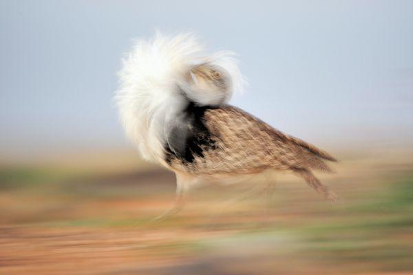 A houbara bustard bird, <i>Chlamydotis undulata</i>, in the Canary Islands.