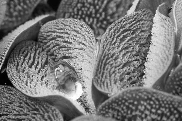 The leaves of the water fern <i>Salvinia molesta</i>.