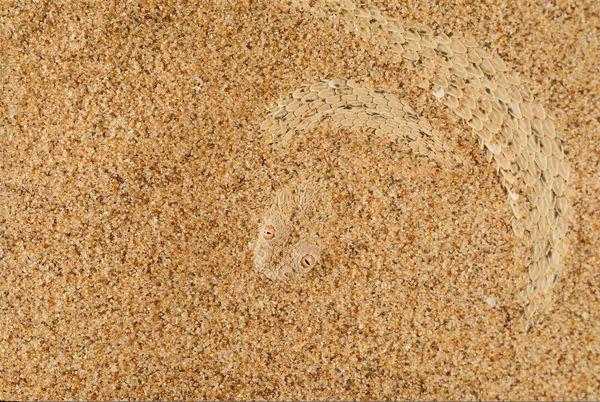 <i>Bitis peringueyi</i>, a venomous viper species camouflaged in the Nabib desert.
