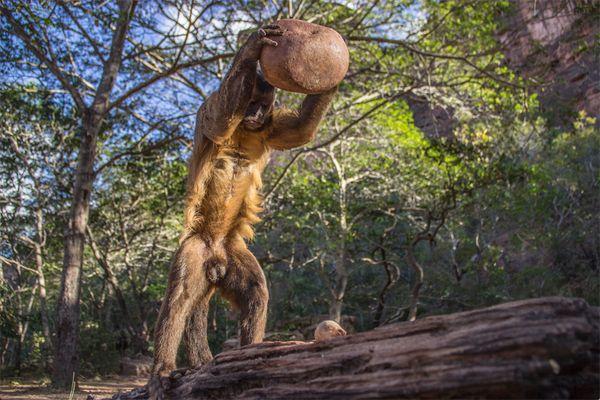 An adult wild-bearded capuchin monkey, <i>Sapajus libidinosus</i>, using a stone tool to crack a palm nut.