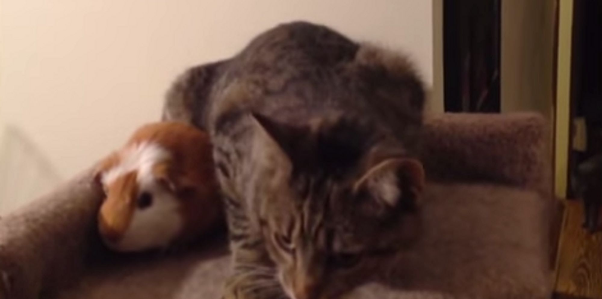 Badass Guinea Pig Tries To Share Cat 39 S Bed Madness Ensues