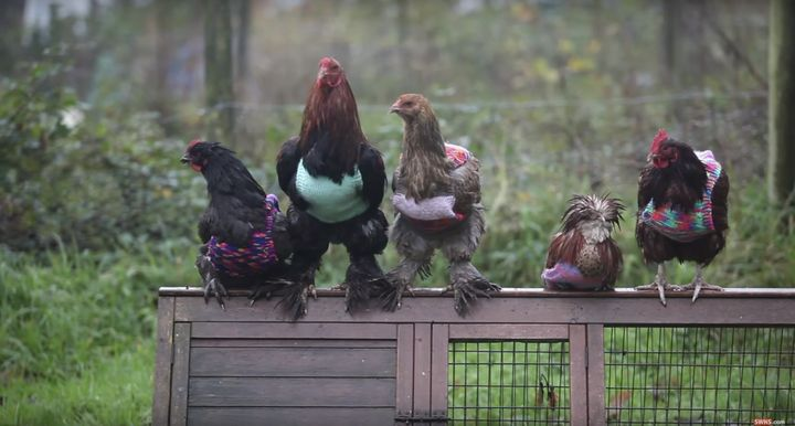 The former battery hens have had trouble adjusting to the cold after spending most of their lives confined to cramped cages.