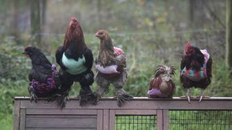Former battery hens are seen showing off their flashy outfits in Cornwall, England.