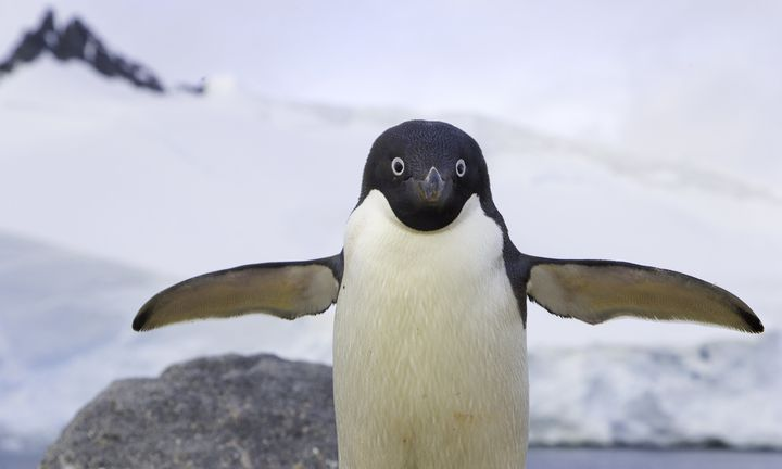 Penguin feathers could help scientists develop new ways to de-ice airplanes.