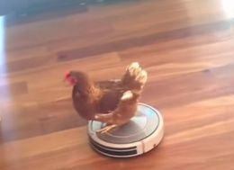 Woman Finds Her Funky Chicken Riding A Roomba
