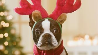 Boston Terrier wearing reindeer antlers in front of Christmas tree, close-up