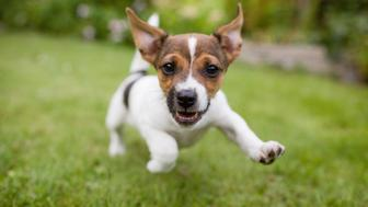 A playful puppy dog running around in the garden while looking straight into the lens.