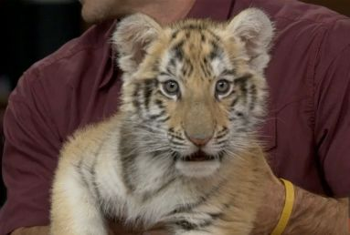"""A tiger from Nat Geo Wild's """"Big cat week"""" joins HuffPost Live."""