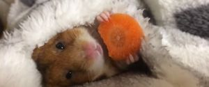 YOUTUBE HAMSTER CARROT