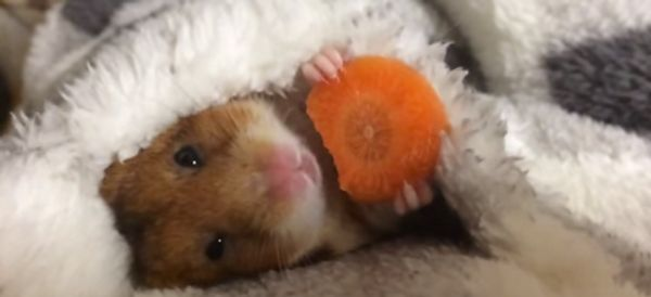 Chillest Hamster Ever Noms On A Carrot In Bed