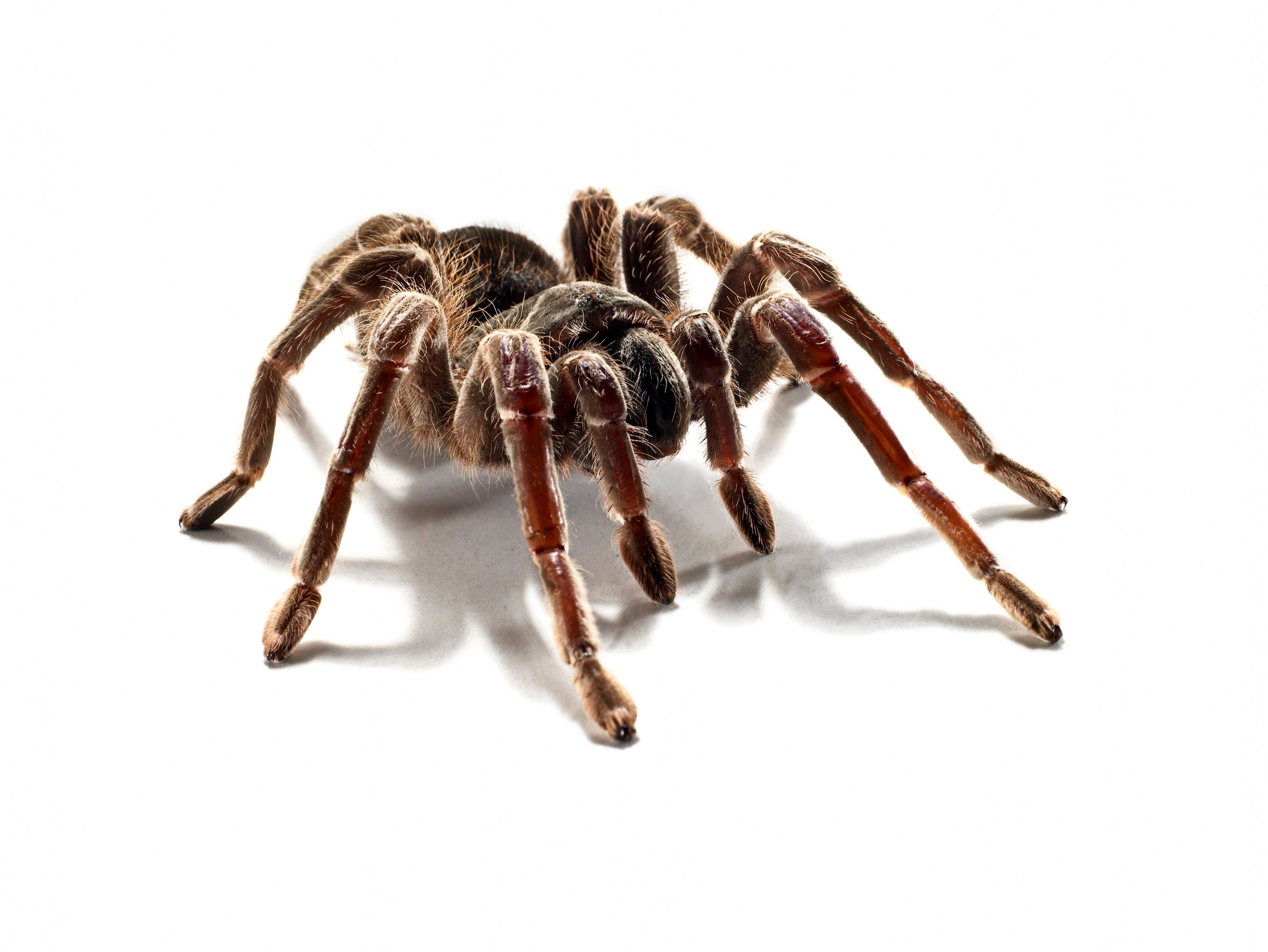 portrait of a hairy tarantula in the studio