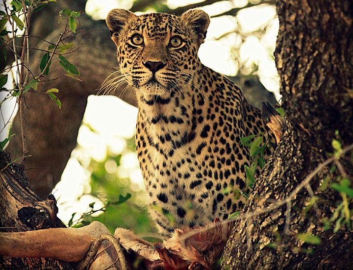 Karula enjoys the remains of an impala, which she hoisted up into a tree.