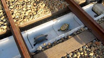 A chute made for turtles caught on railroad tracks is being tested by West Japan Railway Company and Suma Aqualife Park in Kobe.