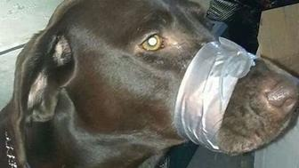 Katie Brown of Daytona Florida decided to duct tape her dogs mouth shut. Katie Brown this isn't funny or cute. Katie Brown you're a Cunt. #dog #katiebrown #ducttape #animalcruelty #notfunny #daytonabeach #pet #sadpuppy #stopit #nov2874