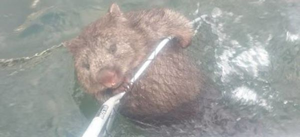 These Wombat-Rescuing Fishermen Are Our New Heroes