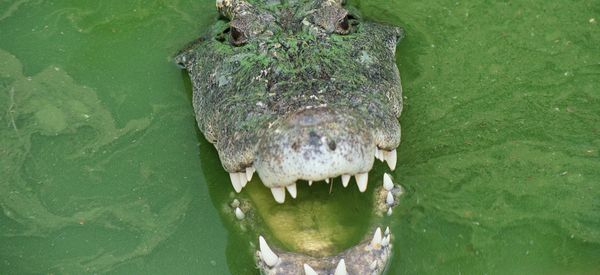 Cannibal Crocodile Eats Rival After Smashing It Into The Water