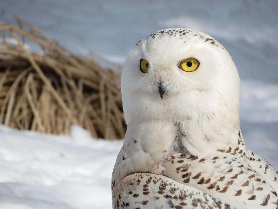 A snowy owl at Back to the Wild wildlife sanctuary in Castalia, Ohio.