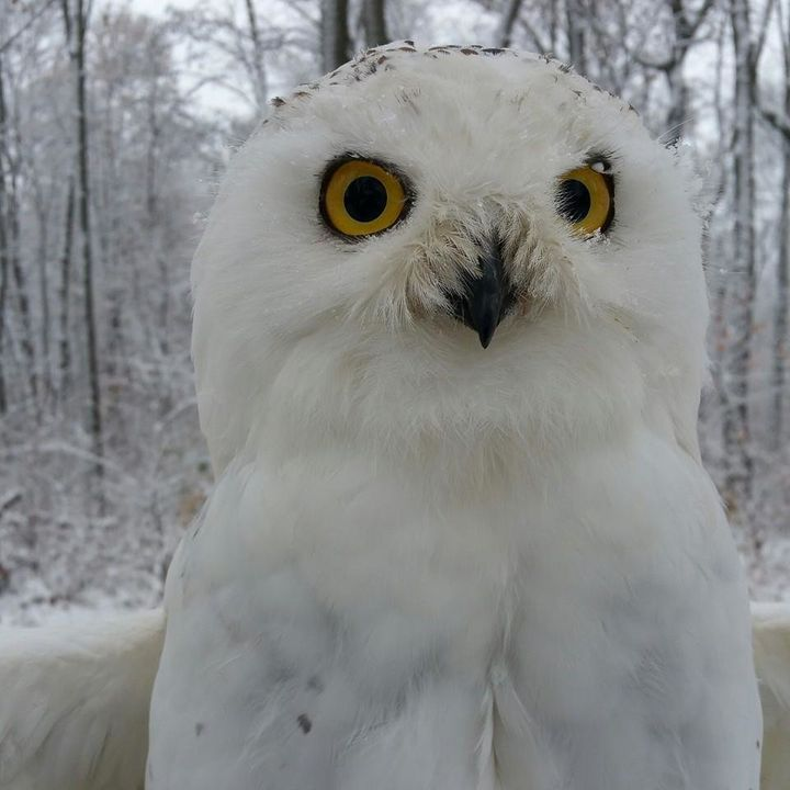 A snowy owl at Back to the Wild in Castalia, Ohio.