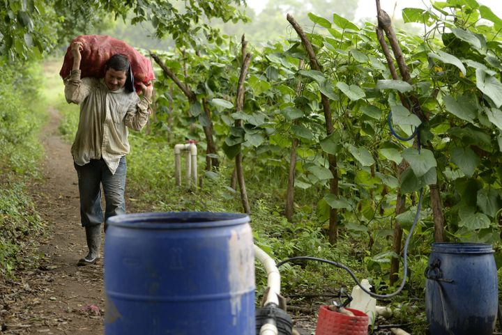 A farmer harvests cucumbers despite a strong drought hitting the eastern region of the country, in Jiquilisco, 100 km south o