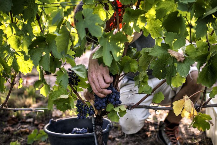 Scientists cut grapes, on Aug. 27, 2015, in Liergues, France, as part of an anti-global warming program aiming to develop sol