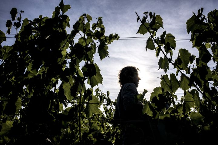 Scientists cut grapes, on Aug. 27, 2015, in Liergues, France.