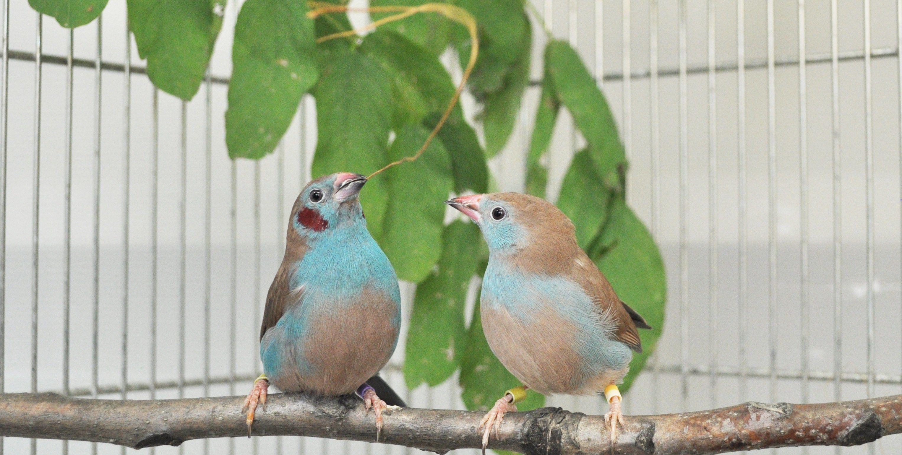 A male red-cheeked cordon-bleu is performing courtship dance.