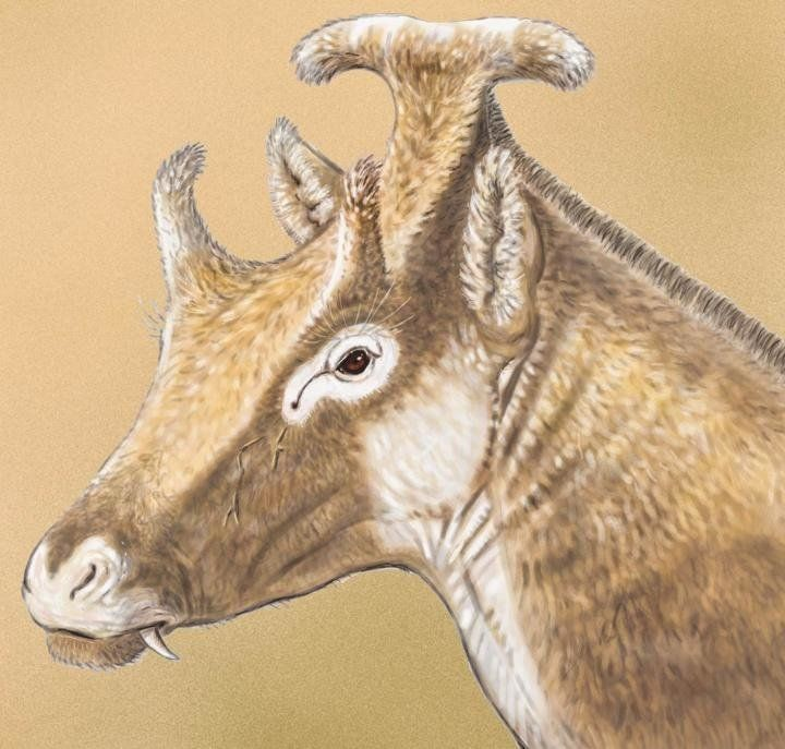 A reconstruction of an adult male Xenokeryx amidalae.