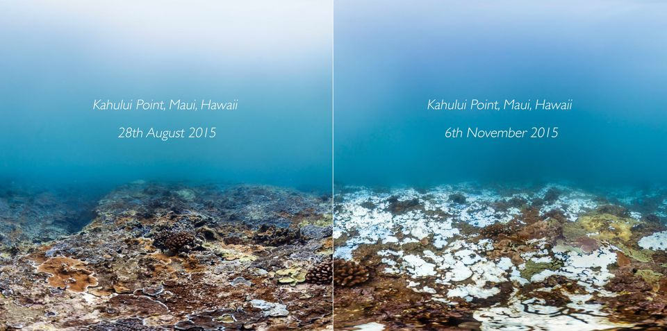 A reef shown before and after bleaching. The bright white areas are damaged coral