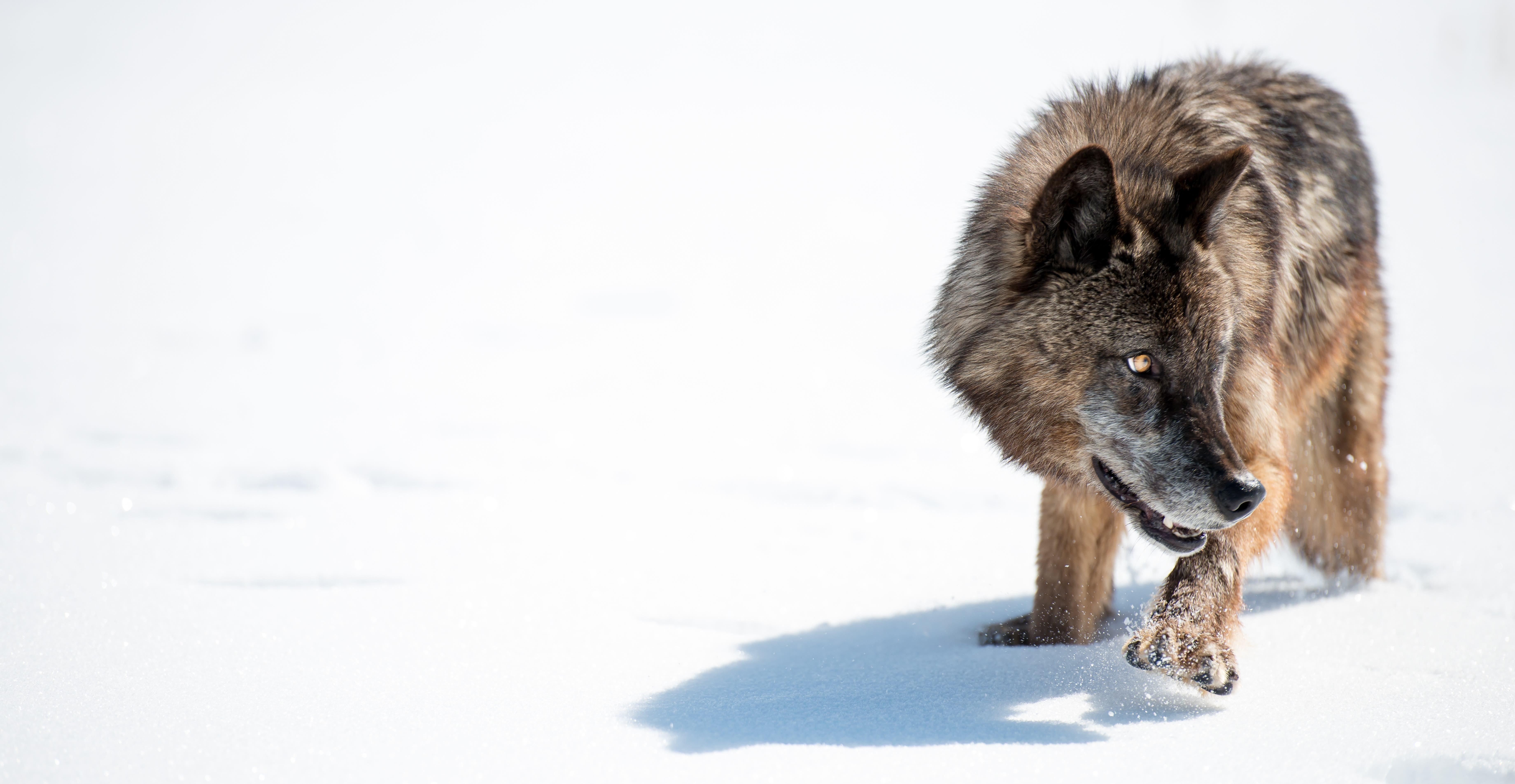 A captive wolf stalking through snow at Wildbrunch Ranch in Idaho.