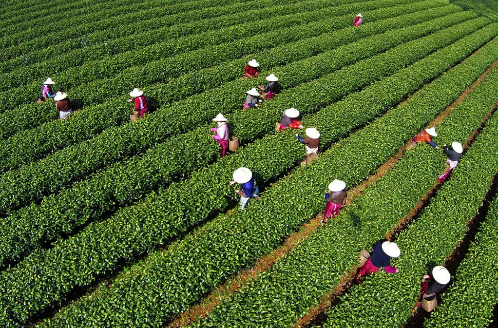 An aerial view of tea pluckers picking Mingqian Tea at a tea garden on March 24, 2015, in Hangzhou, Zhejiang province of Chin