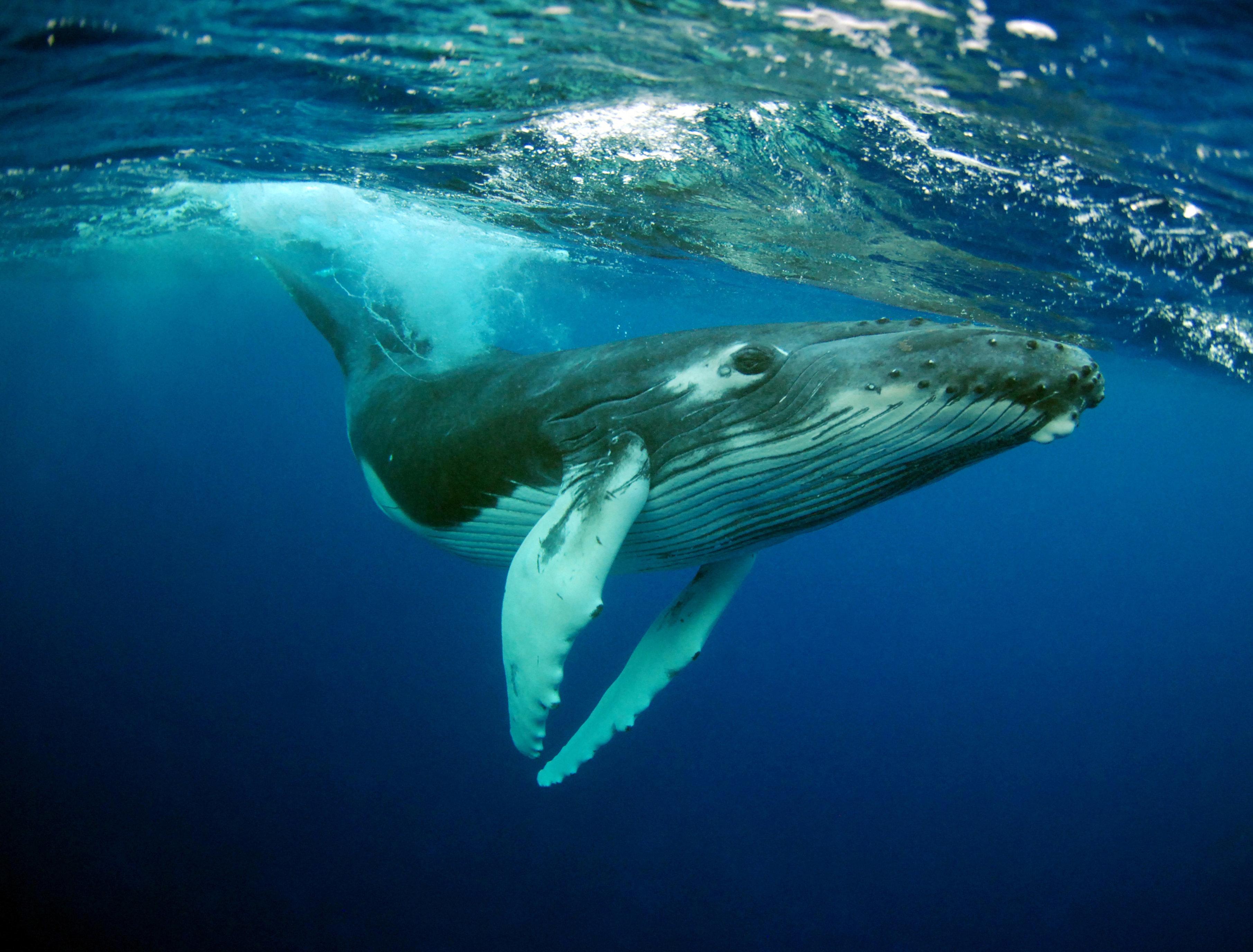 Humpback Whale (Megaptera novaeangliae) calf portrait