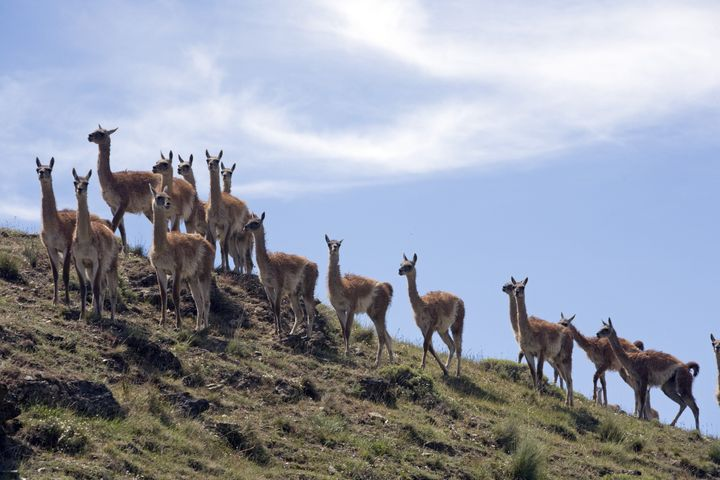 A herd of guanacos, related to the llama. Eco-philanthropist Kristine Tompkins is heading and funding a project to create Pat