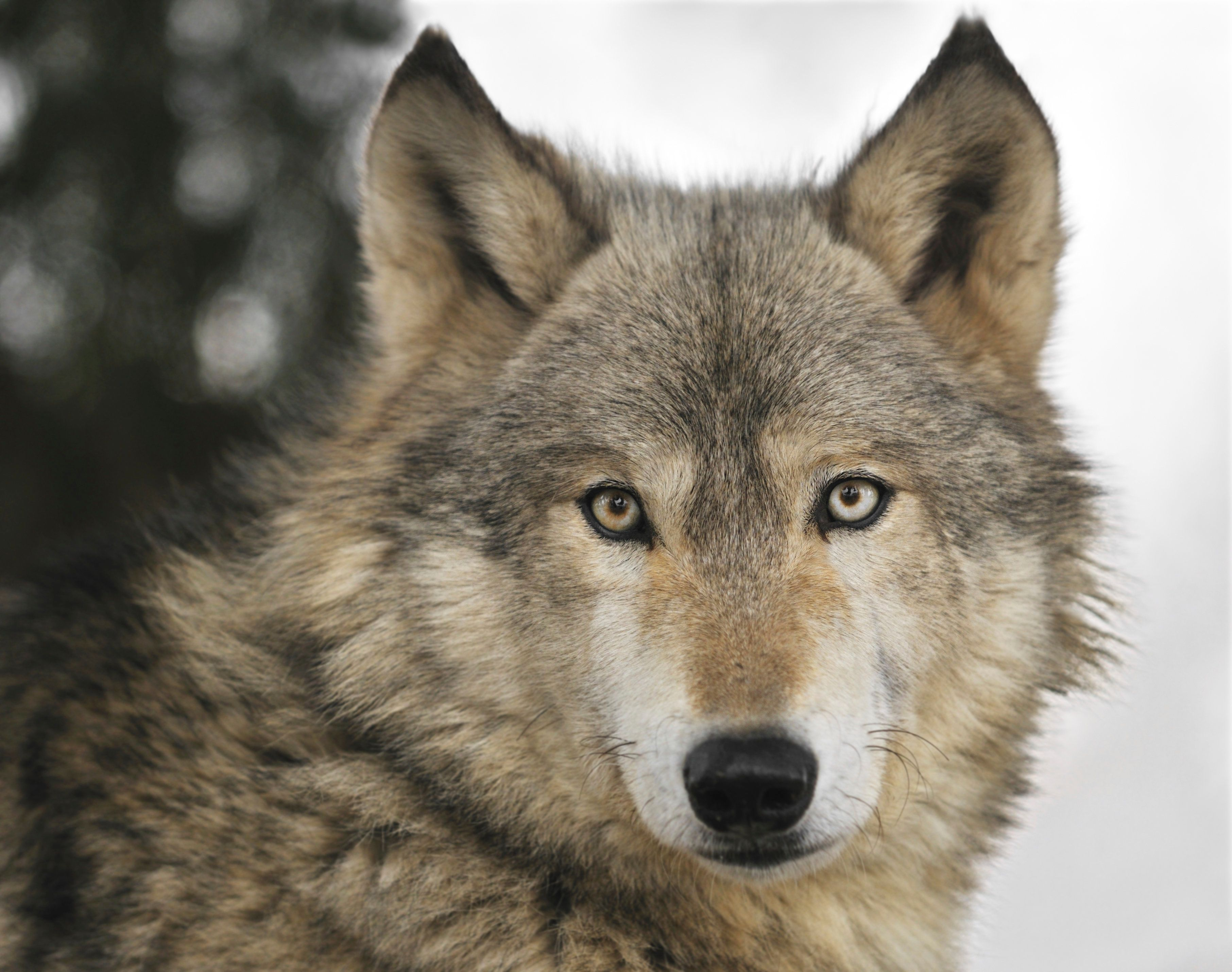Timber Wolf (Canis lupus) Portrait